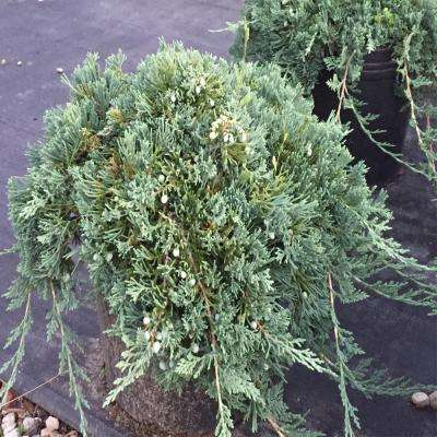 3 Gal. Blue Rug Juniper Shrub