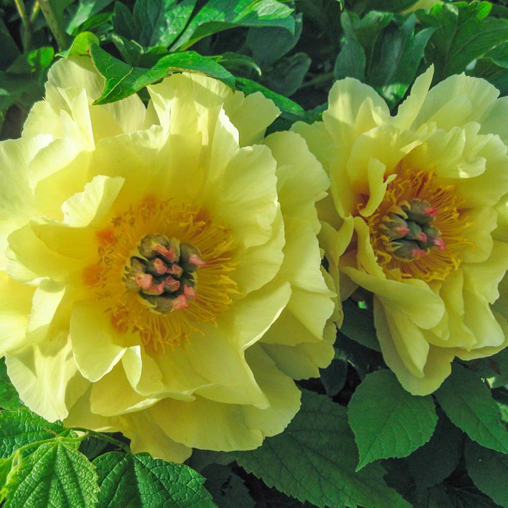 Spring Hill Nurseries Garden Treasure Itoh Peony Paeonia Live