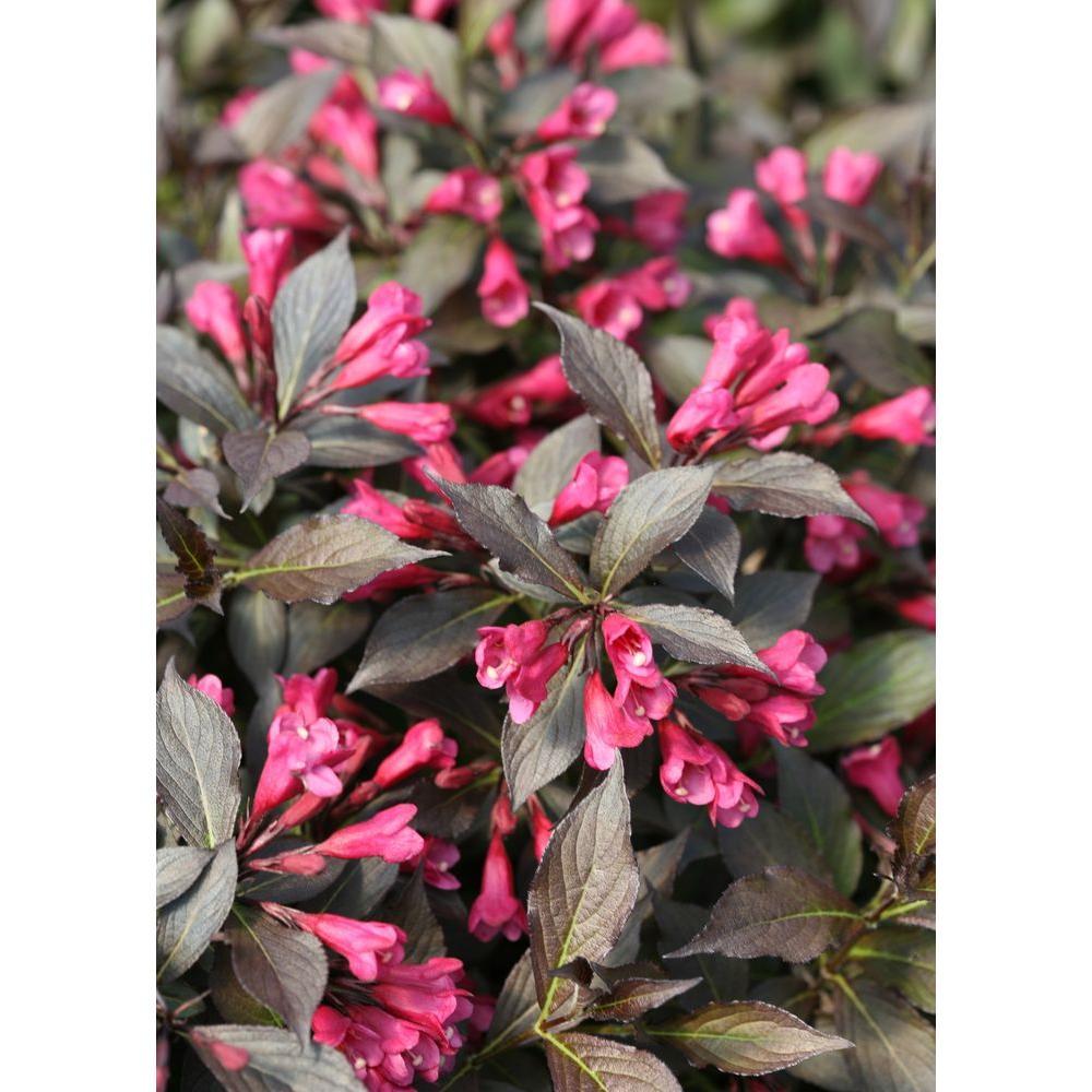 1 Gal. Spilled Wine Weigela (Florida) Live Shrub, Pink Flowers, Dark Purple Foliage