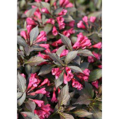 1 Gal. Spilled Wine Weigela (Florida) Live Shrub, Pink Flowers, Dark Purple Foliage