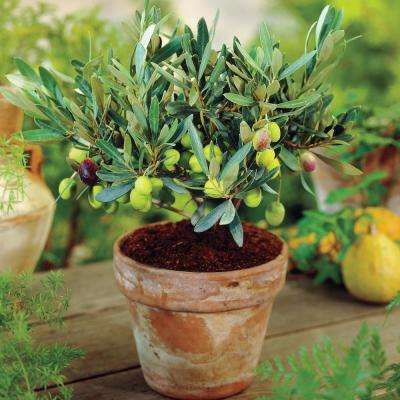 3 In. Pot Manzillo Olive Tree (Olea) Live Fruiting Tropical Tree Green Olive which Ripen Black (1-Pack)