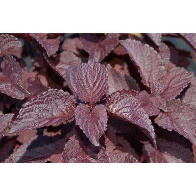ColorBlaze Dark Star Coleus (Solenostemon) Live Plant, Dark Purple Foliage, 4.25 in. Grande