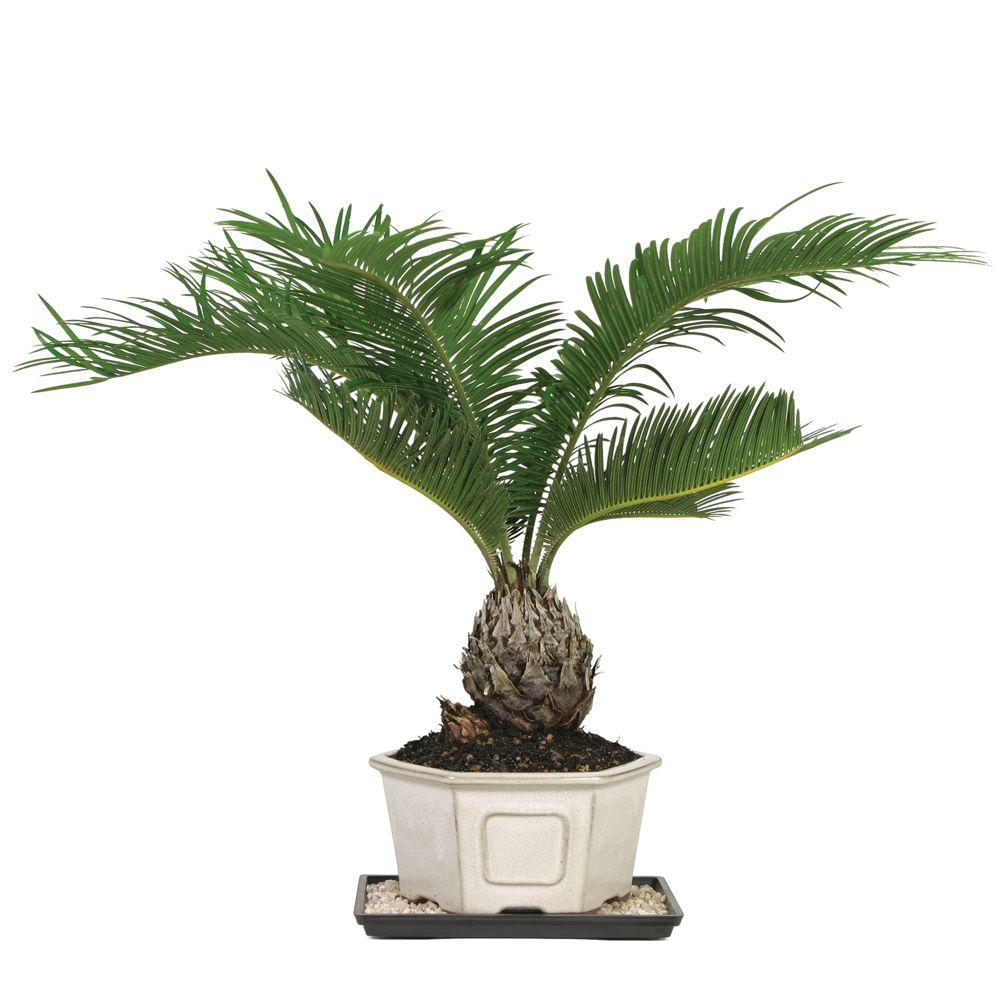 Brussel 39 s bonsai sago palm indoor dt 8028sp the home depot Home depot palm beach gardens