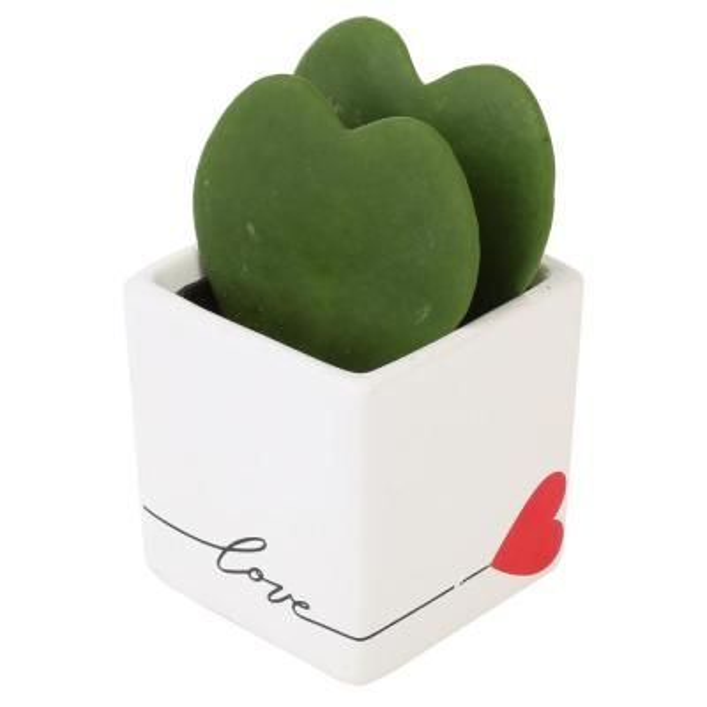 Live Hoya Heart, Hoya Kerrii, in Life Heart White Ceramic
