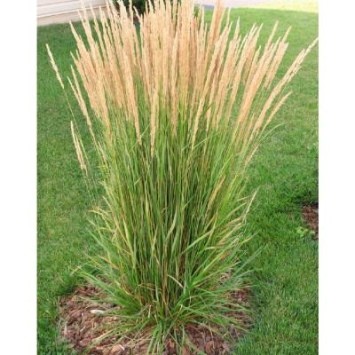 1 Gal. Avalanche Feather Reed Grass - Lovely Tall, Variegated Ornamental Grass Perfect for Borders and Accents