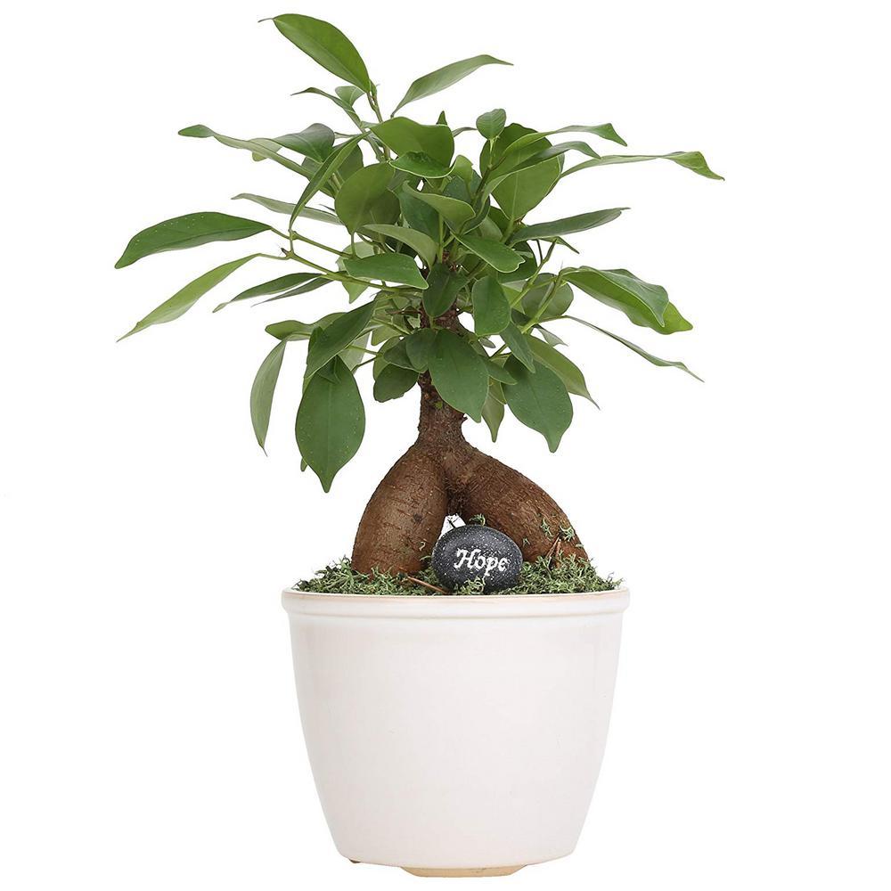 Costa Farms Petite Bonsai Ficus Ginseng In 4 75 In Ceramic Co Bfo04 3 Wht The Home Depot