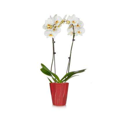 5 in. Holiday Orchid Jai