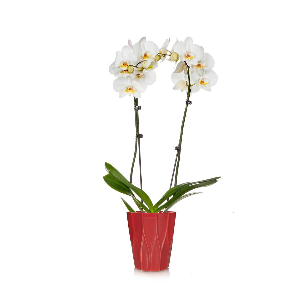 White 5 in. Holiday Orchid Plant in Ceramic Pot (2-Stems)