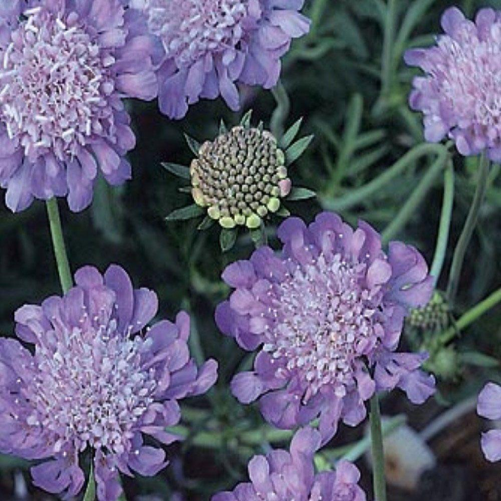 OnlinePlantCenter 1 gal. Butterfly Blue Pincushion Flower Plant
