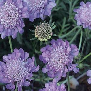 1 gal. Butterfly Blue Pincushion Flower Plant