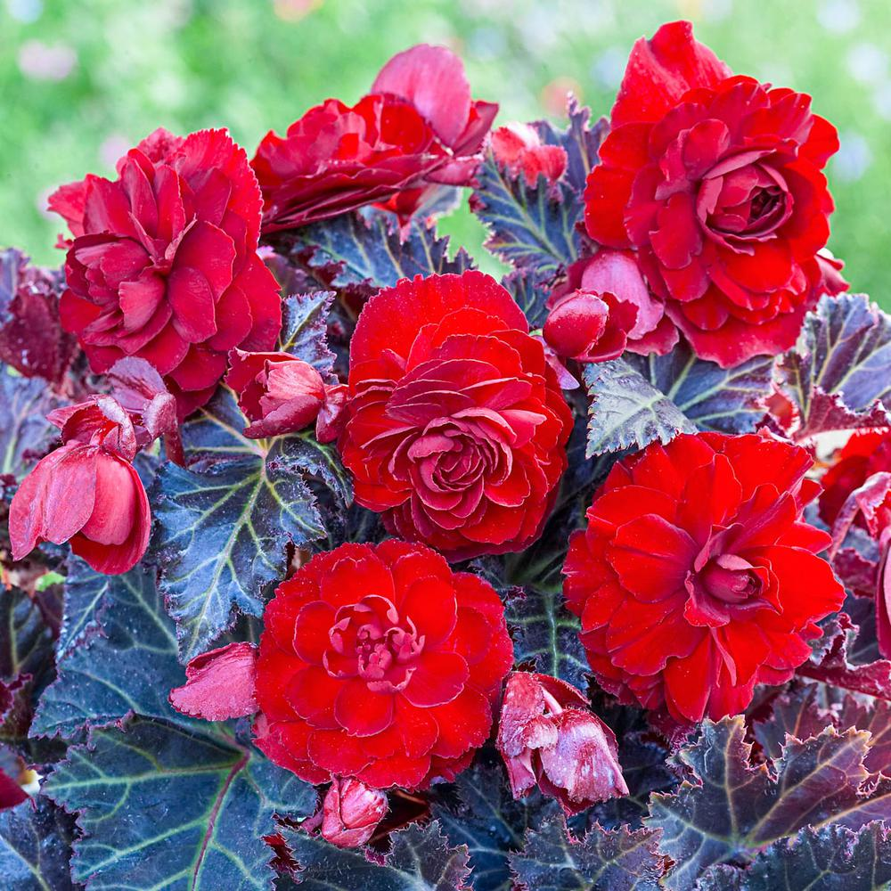 Breck S Red Colored Switzerland Begonia Flowers Bulbs 3 Pack