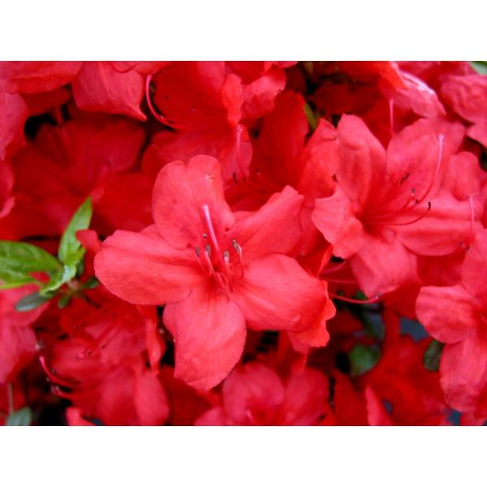 2 Gal. Red Stewartstonian Azalea Plant