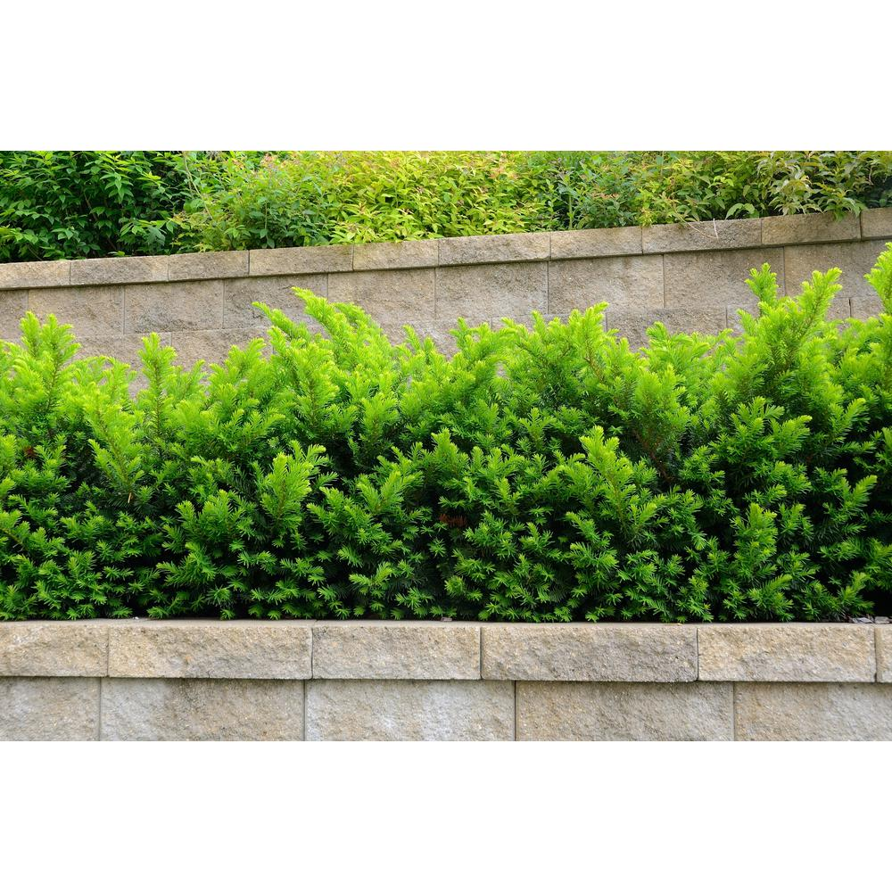 Online Orchards 1 Gal Dense Spreading Yew Shrub This Classic