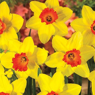Red Devon Large Cupped Daffodil Bulbs 100-Pack