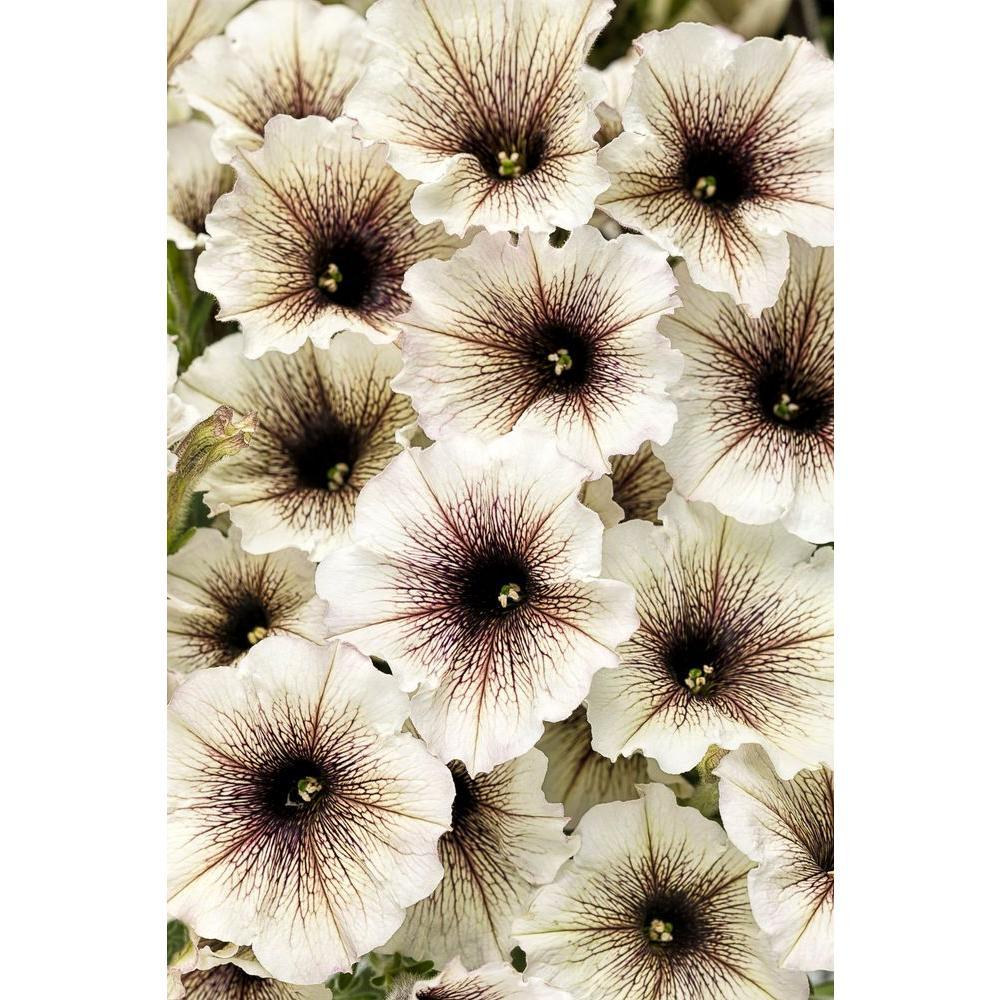 Supertunia Latte (Petunia) Live Plant, Silver-White Flowers with Brown-Purple Veins, 4.25 in. Grande