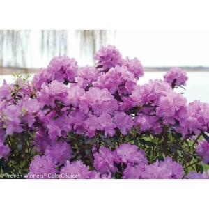 Amy Cotta (Rhododendron) Live Shrub, Purple Flowers, 1 Gal.