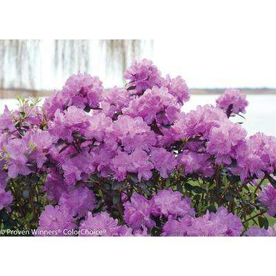 Rhododendron shrubs trees bushes the home depot amy cotta rhododendron live shrub purple flowers 3 gal mightylinksfo