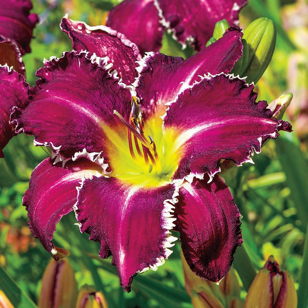 Purple Flowers Snaggle Tooth Daylily (Hemerocallis) Live Bareroot Perennial Plant (1-Pack)