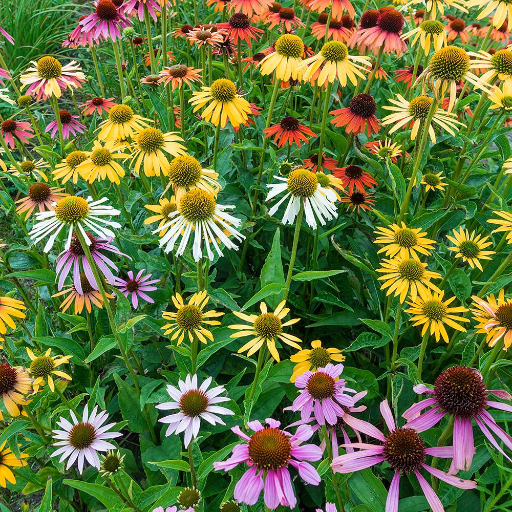 Spring Hill Nurseries Deluxe Coneflower Mixture Echinacea Live Bareroot Plant Multiple Colored
