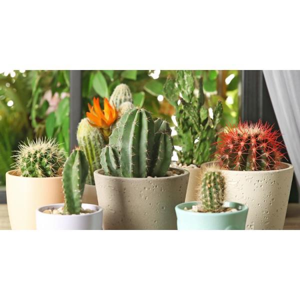 1.38 Pt. Cactus Plant in 4 In. Ceramic Pot (2-Plants)