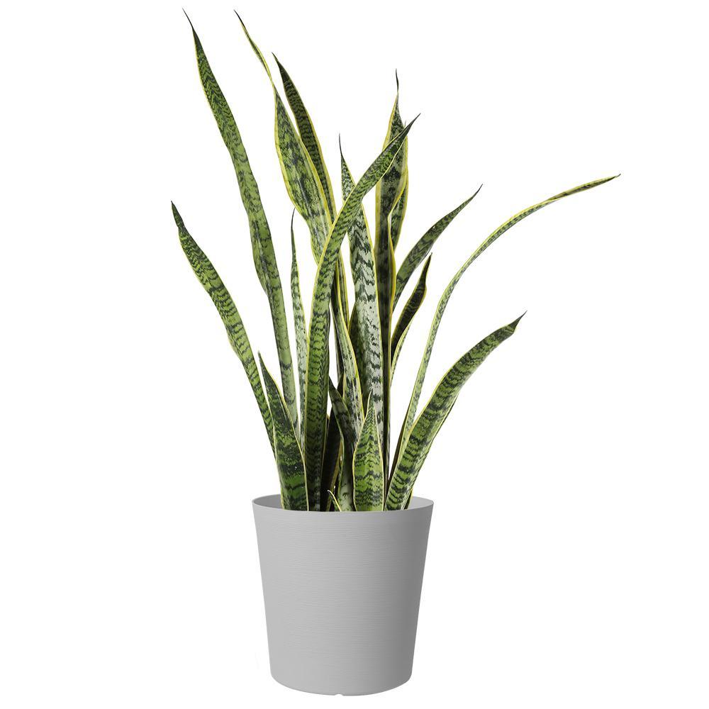Sansevieria Grower's Choice in Gray Decor Pot