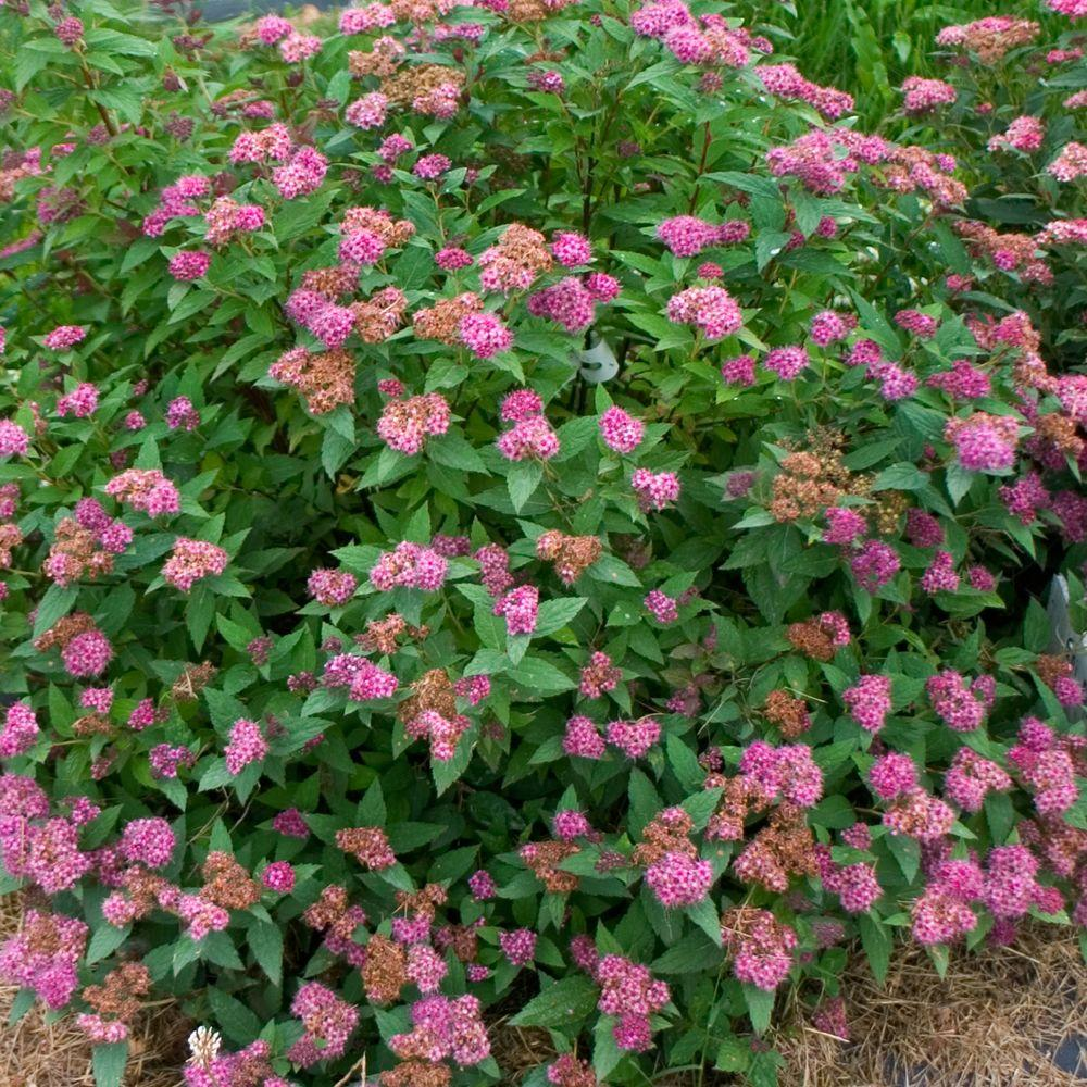 Proven Winners 3 Gal Double Play Artisan Spirea