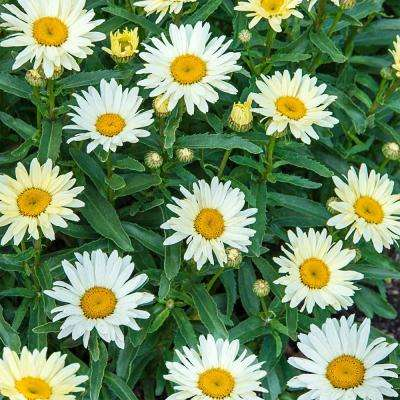 2 in. Pot Banana Cream Shasta Daisy (Leucanthemum) Live Potted Perennial Plant White and Yellow Flowers (1-Pack)