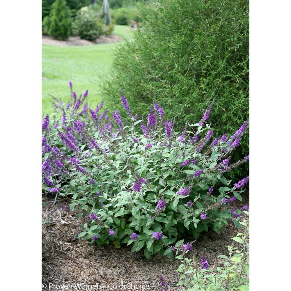 1 Gal. Lo and Behold 'Blue Chip Jr.' Butterfly Bush (Buddleia) Live Shrub, Blue-Purple Flowers