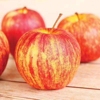 Apple Tree - Honeycrisp - 1 Root Stock