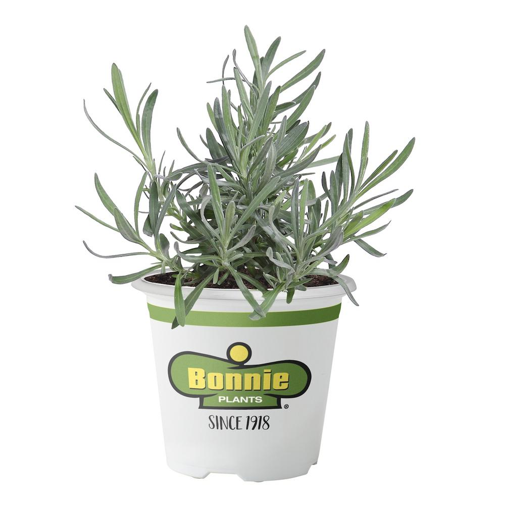 Bonnie Plants 5 in. Lavender Silvery gray leaves look gorgeous next to spikes of deep purple flowers. Wonderful aroma very calming. Deer-resistant plant also attracts loads of pollinators. Use fresh or dried, for crafts, baking, beverages or sachets.