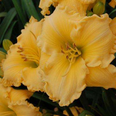 2.5 Qt. Joy of Living Goldie Locks Daylily