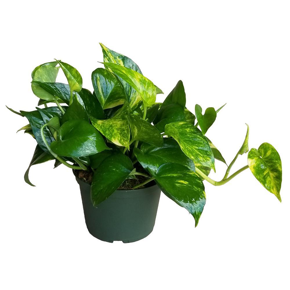 6 in. Golden Pothos Plant in Grower Pot