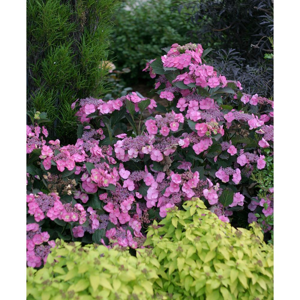 ProvenWinners Proven Winners 1 Gal. Tuff Stuff Reblooming (Mountain Hydrangea) Live Shrub, Blue, Pink, and Purple Flowers