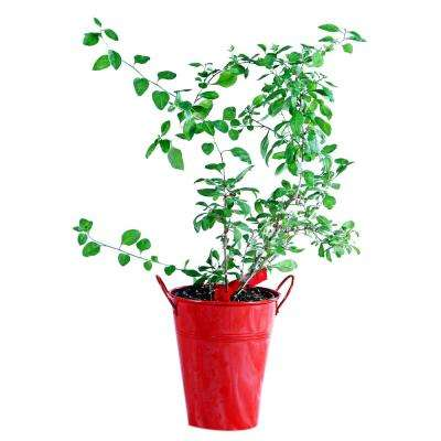 Goji Berry in Decorative Planter