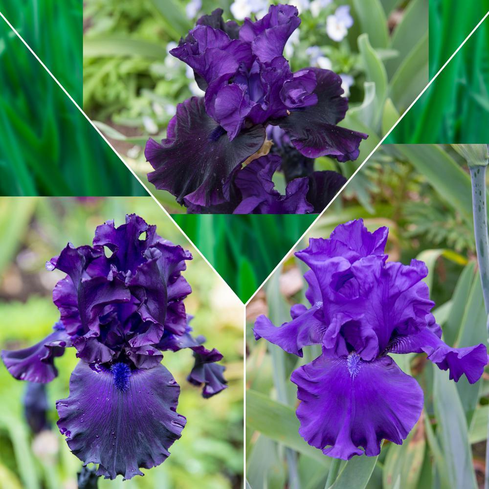 Purple Flowering Iris Mixture, Live Bareroot Perennials (3-Pack)