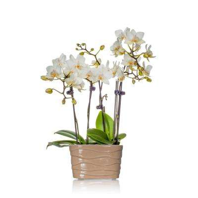 White 4 in. Mini Orchid Duo Plant in Ceramic Pot (2-Stems)