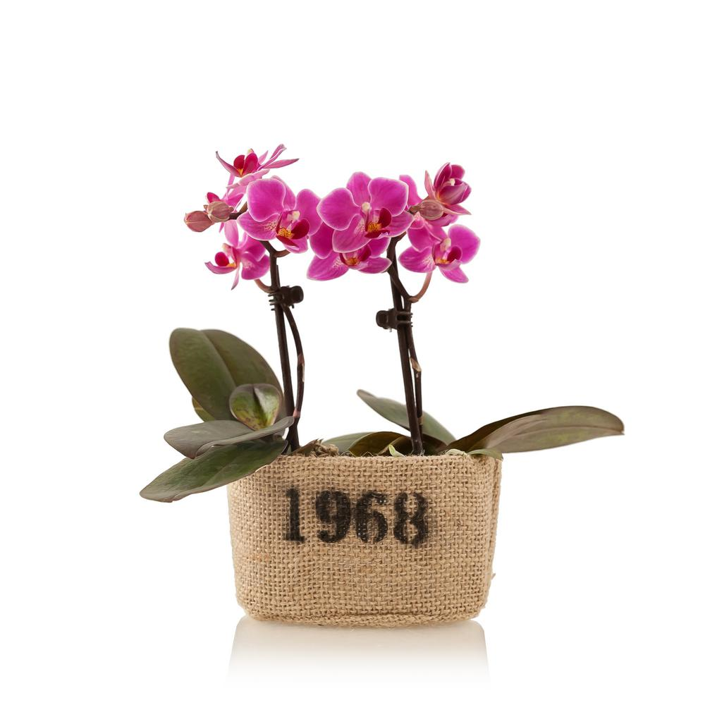 Pink 4 in. Rustic Mini Orchid Duo Plant in Burlap Pot