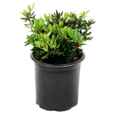 2.5 Qt. FlorAmore Azalea Pink Shrub with Pink Blooms