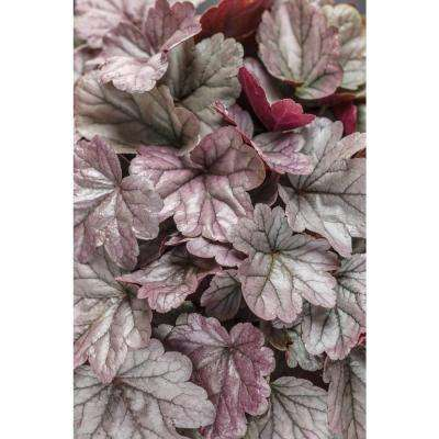 4.5 in. Qt. Dolce Silver Gumdrop Coral Bells (Heuchera) Live Plant, Silver Foliage and Pink Flowers