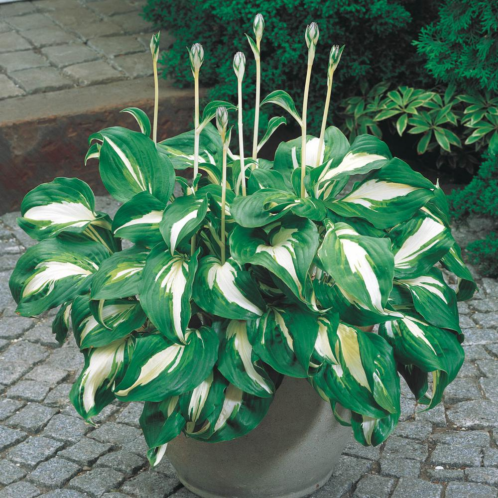 Spring Hill Nurseries Variegated Foliage Mediovariegata Hosta Live