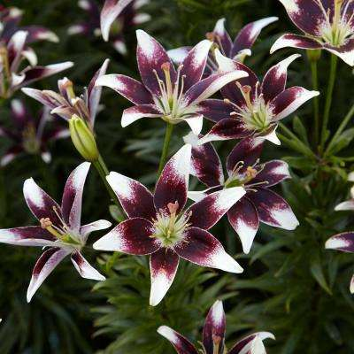 Lilies Bulbs Day and Night Collection (Set of 12)