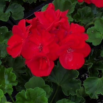1.8 Gal. Geranium Plant Red Flowers in 11 In. Hanging Basket