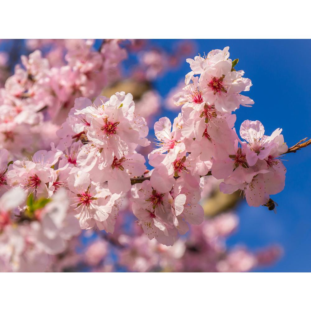 Online Orchards Akebono Cherry Blossom Tree Bare Root 3 Ft To 4