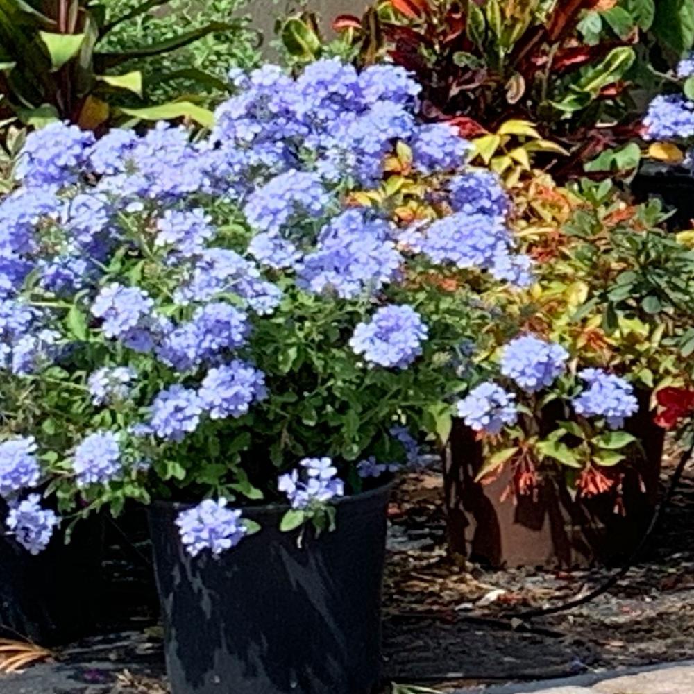 3 Gal. Plumbago Imperial Blue Flowering Shrub with Blue Flowers