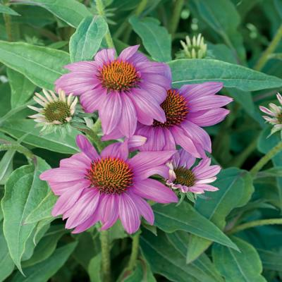 2.5 Qt. Pow Wow Wildberry Pink Coneflower Plant