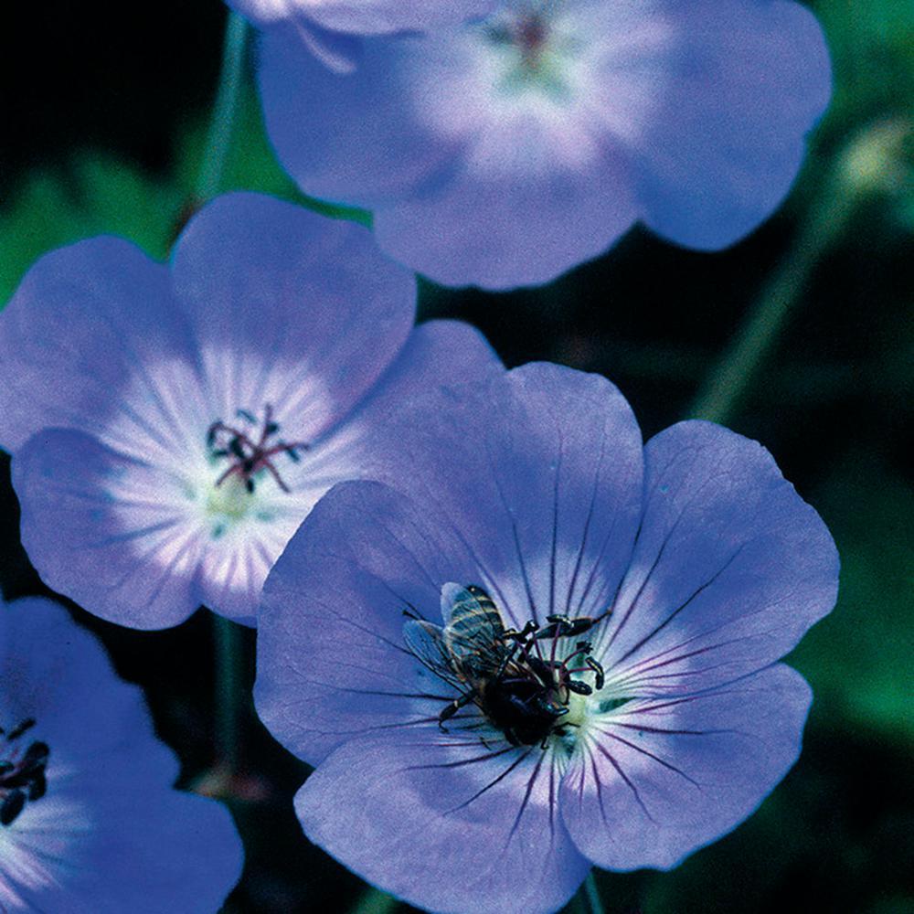 Van Zyverden Longest Blooming Hardy Geranium Rozanne Root Set Of 1