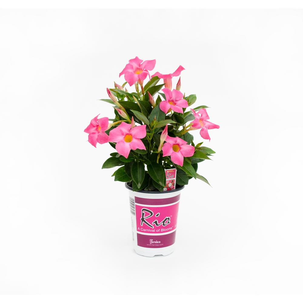 Rio 1 Qt. Dipladenia Flowering Annual Shrub with Red, Pink, White and Raspberry Splash Blooms