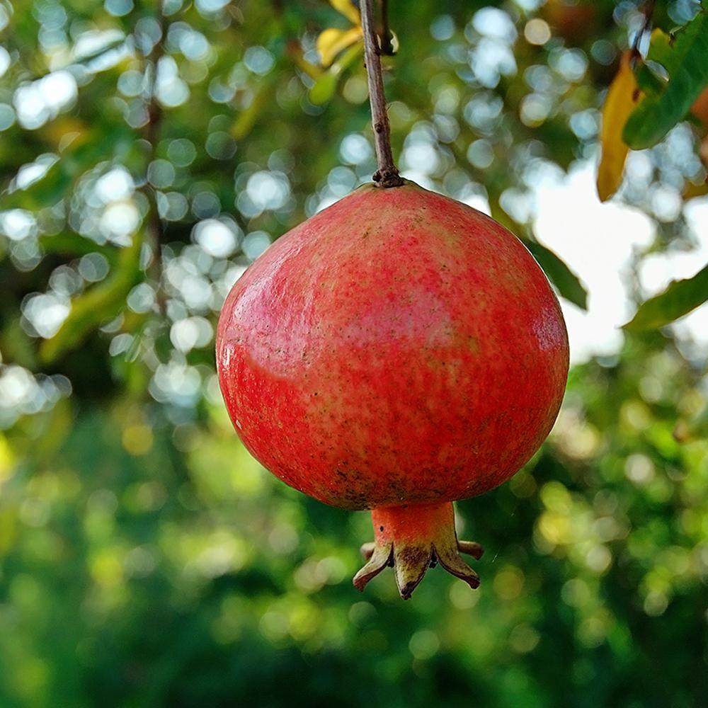 Russian Pomegranate