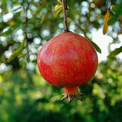 Russian Pomegranate