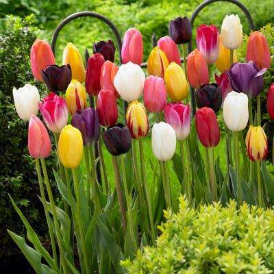 Single Late Tulip Mix Flower Bulb (10-Pack)